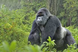 Mountain Gorilla Silverback at Virunga Park